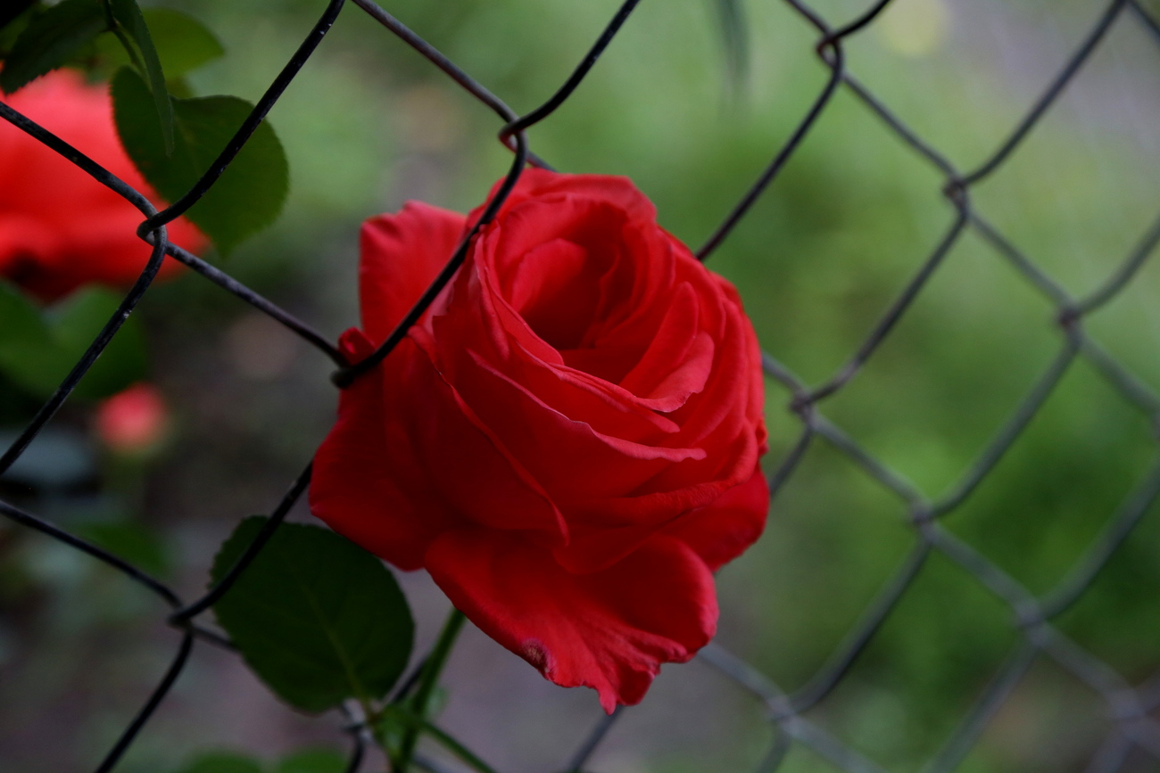 a rose trying to escape