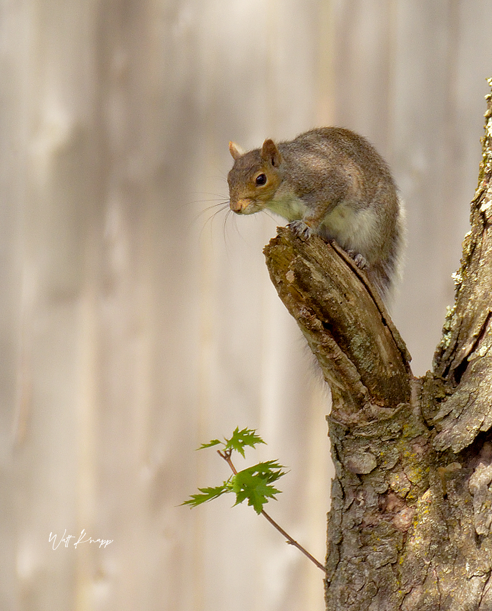 Gray squirrel by whtknight