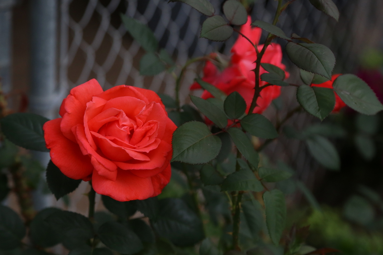 another rose by Richardphotos