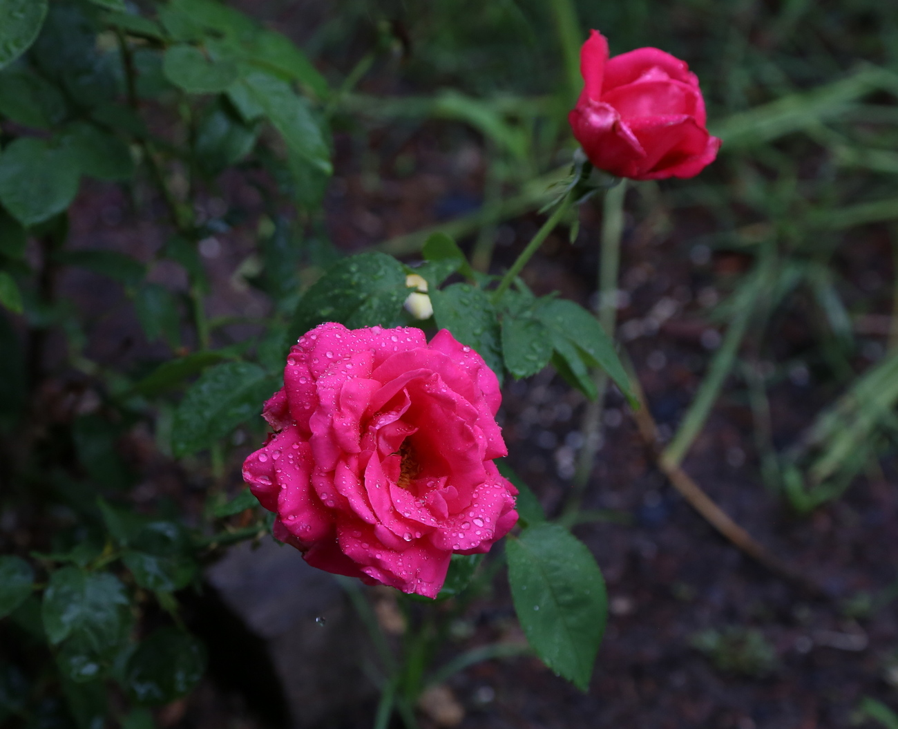 more wet roses by Richardphotos