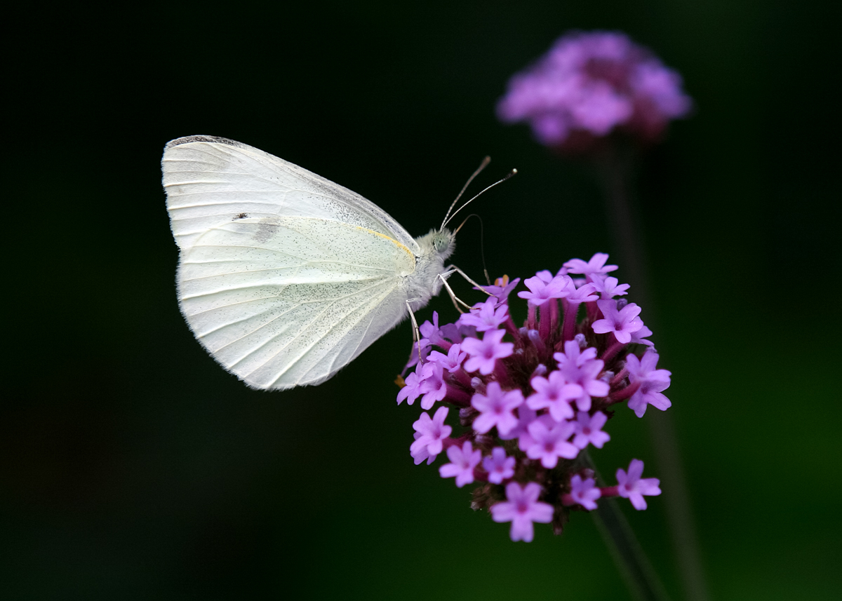 Small White by TinkerACW