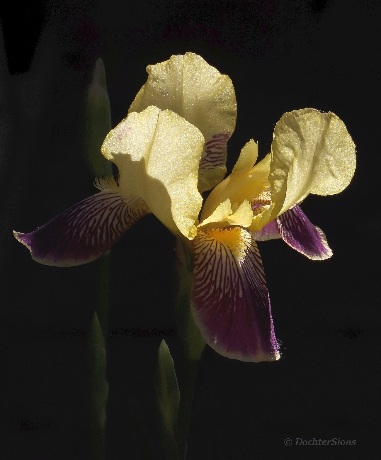 An Iris called by dochtersions