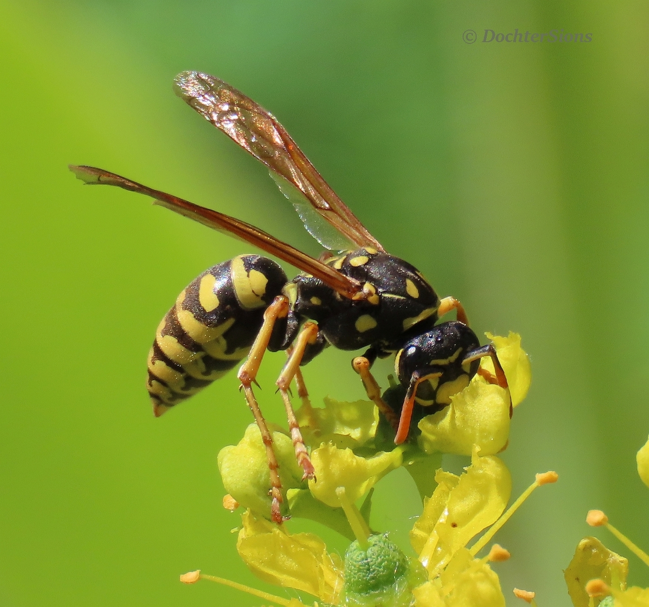 Wasp on Common rue by dochtersions