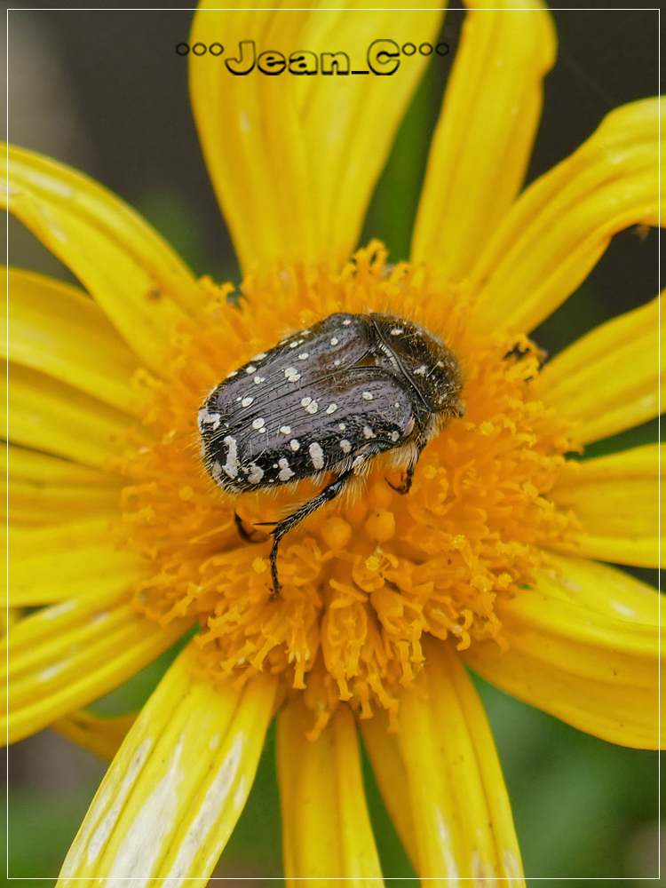 Cetoine grise/Beetle by Jean_C