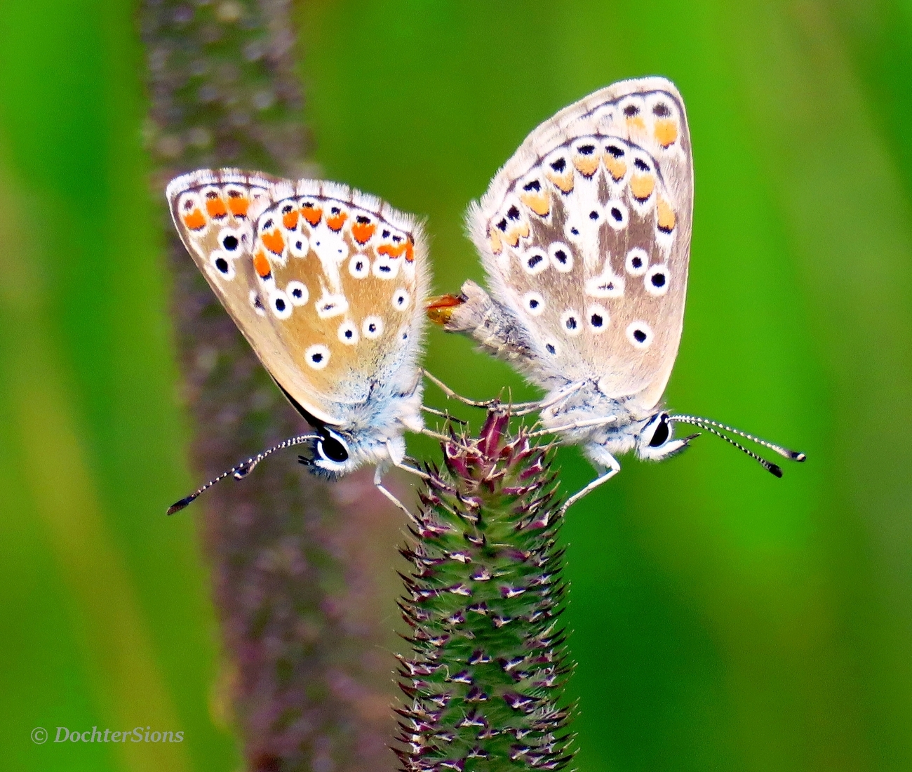 Two mating Common blue