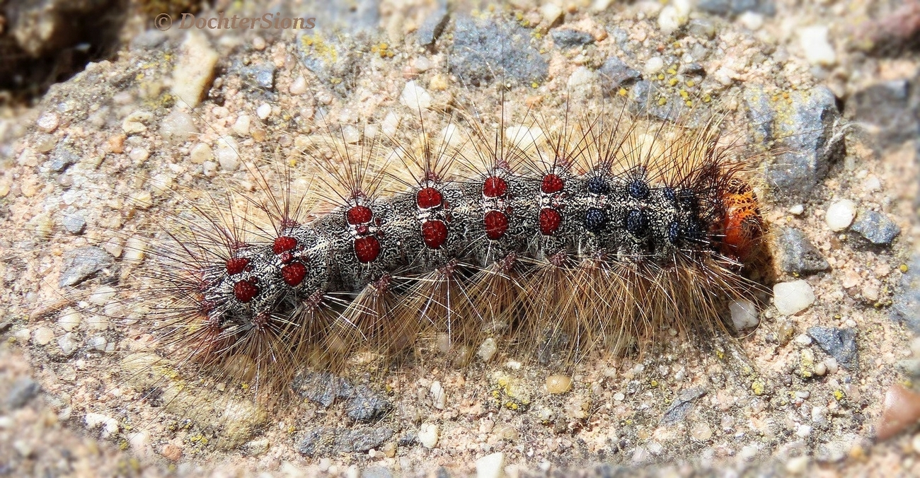 The Caterpillar of the Gypsy Moth by dochtersions