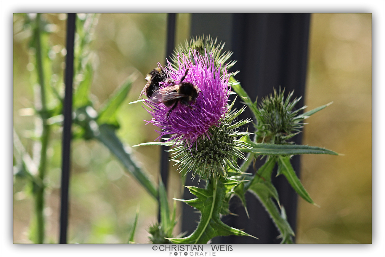 Thistle with two busy bumble bees