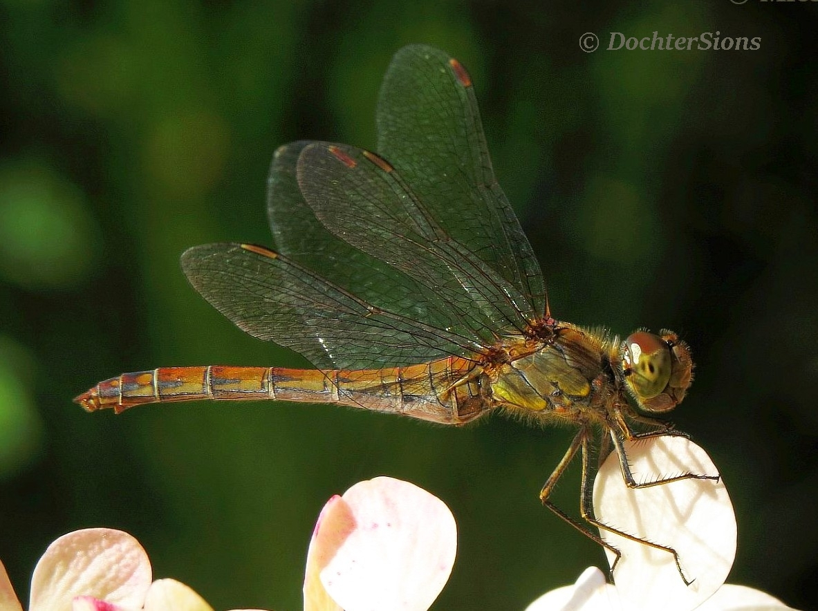 Brown dragonfly by dochtersions